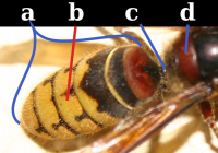 "Abdomen d'un hyménoptère apocrite (guêpe). a: gaster; b: uromère; c: pétiole; d: propodéum. (fichier Wikimedia Commons : ""Wasp_abdomen"") - licence CC-BY-SA 3.0 (https://creativecommons.org/licenses/by-sa/3.0//deed.fr) Dessi Giancarlo, 2008"