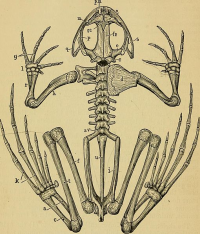 "Anoure, squelette. a, astragale : c, calcaneum : d, suprascapula: e, exoccipital: U, metatarsals : o, pro-otic : p, pterygoid : q, quadratojugal: s, squamosal: se, sphenethmoid: u, urostyle. (Wiki : ""...frog_-_an_introduction_to_anatomy...(14578875868)"") Marshall Arthur Milnes (1852-1893), 1885 (domaine public)"