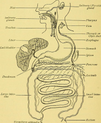 "Digestion :  Appareil digestif humain (en anglais). In A manual of personal hygiene. (fichier Wikimedia Commons : ""A_manual_of_personal_hygiene_-_proper_living_upon_a_physiological_basis_(1917)_(14577385690)"") (domaine public) Pyle Walter Lytle (1871-1921), 1917"