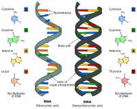 "ARN, différences avec l'ADN. (fichier Commons : ""Difference_DNA_RNA-EN.svg"") - licence CC-BY-SA 3.0 (https://creativecommons.org/licenses/by-sa/3.0/) Sponk, 2010"