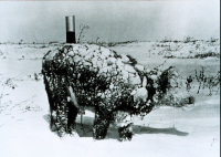 "Un jeune bouvillon après le blizzard de mars, South Dakota, USA. (fichier Wikimedia Commons : ""Young_steer_after_blizzard_-_NOAA"") (domaine public) NOAA, 4 mars 1966"