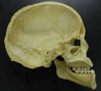 "Crâne humain : coupe sagitale. (fichier Wikimedia Commons : ""Skull_-_midsaggital_section_P.2005"") (domaine public) McCormack Tim, 2005"