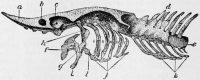 "Crâne d'esturgeon sans les os membraneux. a. rostre b. capsule nasale c. orbite d. trous des nerfs spinaux e. notocorde g. carré h. hyomandibulaire i. mandibule j. basibranchiaux (fichier Commons : ""NIE_1905_Sturgeon_Skull"") (domaine public) The New International Encyclopædia, 1905"