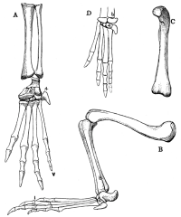 "Membres de crocodiles : Aligator (A,B,C) et Aligatorellus (D). In ""The Osteology of the Reptiles"" (fichier Wikimedia Commons : ""The_Osteology_of_the_Reptiles_p192"") (domaine public) Williston Samuel Wendell (1851–1918), 1925"