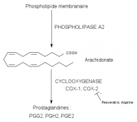 "Voie de la cyclo-oxygénase. (fichier Wikimedia Commons : ""Cyclooxygenase"") - licence CC-BY-SA 3.0 (https://creativecommons.org/licenses/by-sa/3.0/) Pancrat, 2009"