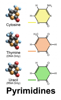 "Pyrimidines (cytosine, thymine, et uracile), structure. (fichier Wikimedia Commons : ""Blausen_0324_DNA_Pyrimidines"") - licence CC-BY-SA 3.0 (https://creativecommons.org/licenses/by-sa/3.0//deed.fr) Blaus Bruce, 2013"