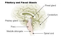 "Epiphyse (pineal gland) et hypophyse (pituitary gland) humaines. source: http://training.seer.cancer.gov/module_anatomy/unit6_3_endo_glnds1_pituitary.html (fichier Wikimedia Commons : ""Illu_pituitary_pineal_glands"") (domaine public) Training.seer.cancer.gov, 2005"