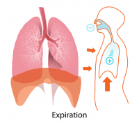 "Expiration : thorax, diaphragme et poumons. (fichier Commons : ""Expiration_diagram.svg"") (domaine public) LadyofHats, 2008"