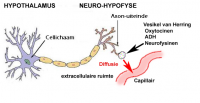 "Hypothalamus et neuro-hypophyse. (fichier Wikimedia Commons : ""Hypothalamus-Hypofyse"") - licence CC-BY-SA 3.0 (https://creativecommons.org/licenses/by-sa/3.0//deed.fr) Beetjedwars, 2008"