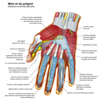 "Main et poignet humains, anatomie profonde. (fichier Wikimedia Commons : ""Wrist_and_hand_deeper_palmar_dissection-fr.svg"") - licence CC-BY-SA 3.0 (https://creativecommons.org/licenses/by-sa/3.0//deed.fr) The Photographer, 2008"