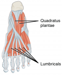 "Muscles intrinsèques du pied humain. (fichier Wikimedia Commons : ""Intrinsic_Muscles_of_the_Foot_c"") - licence CC-BY-SA 3.0 (https://creativecommons.org/licenses/by-sa/3.0//deed.fr) OpenStax College, 2017"