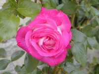 Une rose. Meyer Christian ©, mai 2003