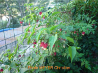 <em>Abutilon megapotamicum</em>. Meyer Christian ©, août 2011