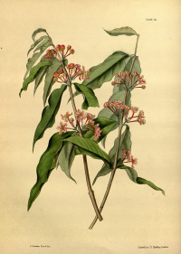 "Acerola. (fichier Commons : ""Malpighia_glabra_Paxton_041.jpg"") (domaine public) Constans L. A. L. in Paxton's Flower Garden, 1853"