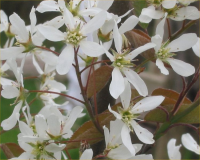 "Amélanchier de Lamarck, fleurs. (fichier Commons : ""Amelanchier_lamarckii_bloem"") - licence CC-BY-SA 1.0 à 3.0 (https://creativecommons.org/licenses/by-sa/3.0/deed.en) Rasbak, 2005"