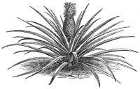 "Ananas, la plante. In IA Appleton's Guide to Mexico. (fichier Wikimedia Commons : ""AGTM_D190_The_pineapple_plant"") (domaine public) Inconnu, 1884"