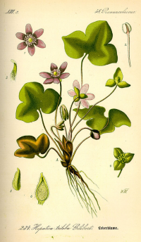 "Anémone hépatique. (fichier Commons : ""Illustration_Hepatica_nobilis0.jpg"") (domaine public) Prof. Dr. Thomé Otto Wilhelm, Flora von Deutschland, Österreich und der Schweiz, 1885"
