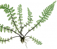 "Asplénium des fontaines. (fichier Commons : ""FBI-35A1_Asplenium_fontanum.png"") (domaine public) Moore Thomas, Lindly J. éd., Bradbury H. impr., The Ferns of Great Britain and Ireland, 1855"
