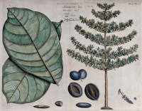 "Badamier. (fichier Commons : ""Indian_almond_(Terminalia_catappa_L.);_leaves,_tree,_fruit,_Wellcome_V0042599.jpg"") - licence CC-BY-SA 4.0 (https://creativecommons.org/licenses/by-sa/4.0/deed.en) Wellcome Images, 2014"