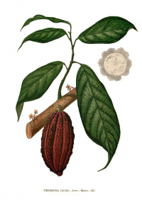 "Cacaoyer. (fichier Commons : ""Theobroma_cacao_Blanco_clean"") (domaine public) Blanco Francisco Manuel, Flora de Filipinas, vers 1880-1883"