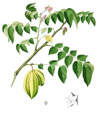 "Carambolier. (fichier Commons : ""516px-Averrhoa_carambola_Blanco1.139-cropped"") (domaine public) Blanco Francisco Manuel, Flora de Filipinas, vers 1880-1883"