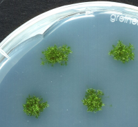 "Culture axénique d'une mousse (<em>Physcomitrella patens</em>) sur gélose. (fichier Commons : ""Physcomitrella_growing_on_agar_plates"") - licence CC-BY-SA 1.0 (https://creativecommons.org/licenses/by-sa/1.0/) Sabisteb, 2008"