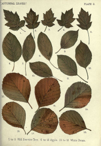 "Feuilles d'automne 8 : 1-5 : alisier, sorbier torminal (wild service tree), 6-12 pommier (apple) 13-18 alisier blanc (whitebeam). (fichier Commons : ""Autumnal_leaves_(Plate_8)_(6796244329)"") (domaine public) Heath F.G., in"