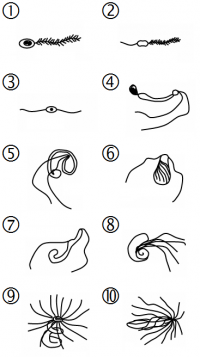 "Gamètes mobiles de végétaux : 1) Diatomée 2) Laminaire 3) Fucus 4) Marchantia 5) Plytrichum (mousse) 6) Lycopodium 7) Sélaginelle 8) Psilotum 9) Polypodium 10) Equisetum. (fich ""Plant_sperm_nb"") - (https://creativecommons.org/licenses/by-sa/3.0/) Haltopub et Tameeria, 2013 - licence CC-BY-SA 3.0"