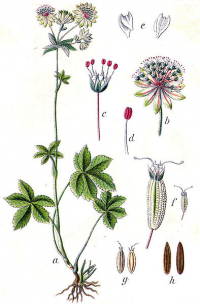 "Grande astrance. (fichier Commons : ""Astrantia_major_Sturm4"") (domaine public) Sturm Jacob in Sturm Johann Georg, Deutschlands Flora in Abbildungen, 1796"
