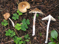 "Inocybe fastigié. (fichier Commons : ""Inocybe_rimosa.jpg"") - licence CC-BY-SA 3.0 (https://creativecommons.org/licenses/by-sa/3.0/deed.en) Steinert Eric, 2005"