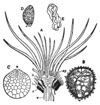 "Isoète : microspore (D), macrospore (B). In The New Student's Reference Work. (fichier Wikimedia Commons : ""NSRW_Isoetes"") (domaine public) Beach Chandler Belden (1839–1928),1914"