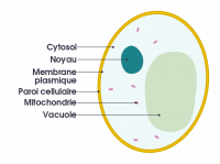 "Levure de bière, schéma. (fichier Commons : ""Simple_diagram_of_yeast_cell_(fr).svg"") - licence CC-BY-SA 4.0 (https://creativecommons.org/licenses/by-sa/4.0/) Domdomegg, 2016"