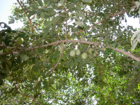"Marula. (fichier Commons : ""Fruits_on_a_tree.JPG"") - licence CC-BY-SA 3.0 (https://creativecommons.org/licenses/by-sa/3.0/deed.en) Iftahm, 2008"