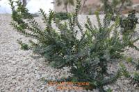 Myrte dictionnaire des sciences animales for Myrte arbuste
