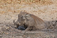"<em></em>Bain de boue d'un phacochère au Sénégal. (fichier Wikimedia Commons : ""Nolan_warthog_(Phacochoerus_africanus_africanus)_in_mud"") - licence CC-BY-SA 4.0 (https://creativecommons.org/licenses/by-sa/4.0//deed.fr) Charlesjsharp, déc. 2016"