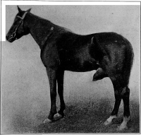 "Dourine du cheval. In ""The diseases of the genital organs of domestic animals"" (fich Wiki : ""The_diseases_of_the_genital_organs_of_domestic_animals_(1921)_(20596174629)"") (domaine public) Long Williams Walter (1856-1945) et Wilkinson Williams Walter (1892-?), 1921"