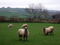 "Fourchet : cas du mouton agenouillé à droite, Pembrokeshire, GB. (fichier Commons : ""Who_got_a_fleece_for_Christmas^_-_geograph.org.uk_-_1090737"") - licence CC-BY-SA 2.0 (https://creativecommons.org/licenses/by-sa/2.0/) Ceridwen, 2008"