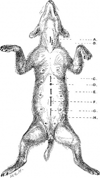 "Incisions pour A. trachéotomie ; B. oesophagotomie ; C. gastrotomie ; D. hernie ombil. ; E. laparotomie explor., ovariotomie; F. hysterotomie; G. lithotomie (fem.) ; H. hernie inguinale. (fichier Commons : ""Surgical_diseases_of_the_dog_and_cat..."") Hobday Frederick Th. G. Sir (1870-1939),1906 (domaine public)"