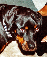 "Myosite atrophique des masticateurs d'un chien rottweiler. (fichier Wikimedia Commons : ""Masticatory_Muscle_Myositis_dog"") - licence CC-BY-SA 2.5 (https://creativecommons.org/licenses/by-sa/2.5//deed.fr) Kalumet, 2006"