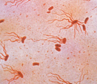 "<em>Salmonella typhi,</em> agent de la typhoïde humaine. (fichier Wikimedia Commons : ""Salmonella_typhi"") - licence CC-BY-SA 4.0 (https://creativecommons.org/licenses/by-sa/4.0/) Roinujs, 2015"