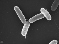 "<em>Salmonella typhimurium. </em>(fichier Wikimedia Commons : ""Salmonella_typhimurium.png"") - licence CC-BY-SA 2.5 (https://creativecommons.org/licenses/by-sa/2.5/) Brinkmann Volker, Max Planck Institute for Infection Biology, Berlin, Allemagne, 2005"