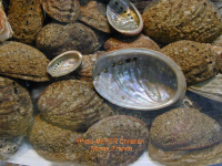 Des abalones (salon de l'Agriculture, Paris). Meyer Christian, 2004