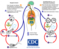 "<em>Acanthamoeba</em> et<em> Balamuthia mandrillaris</em>, cycle. (fichier Commons : ""Free-living_amebic_infections"") (domaine public) Centers for Disease Control and Prevention's Public Health (US CDC), 2002"