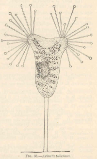 "<em>Acineta tuberosa.</em> In Marine Protozoa from Woods Hole, Bulletin of the United States Fish Commission. Freshwater and Marine Image Bank (FMIB), Univ. of Washington (fichier Wikimedia Commons : ""FMIB_40878_Acineta_tuberosa"") (domaine public) Calkins Gary N. (1869–1943), 1902"