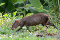 "Agouti à points au Panama, Amérique du Sud. (fichier Commons : ""Dasyprocta_punctata_(Gamboa,_Panama)"") - licence CC-BY-SA 2.0 (https://creativecommons.org/licenses/by-sa/2.0/) Gallice Geoff, 2011"