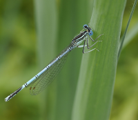 "Agrion à larges pattes, pennipatte bleuâtre (<em>Platycnemis pennipes)</em> en Allemagne. (fich. Wikimedia : ""2012.06.21.-g-06-Strasen-Blaue_Federlibelle-Maennchen-Schnitt"") - (https://creativecommons.org/licenses/by-sa/3.0/) Eichler Andreas, 21 juin 2012 - licence CC-BY-SA 3.0"