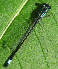 "Agrion élégant mâle. (fichier Commons : ""501px-Male_of_Ischnura_elegans_I"") - licence CC-BY-SA 3.0 (https://creativecommons.org/licenses/by-sa/3.0/deed.en) Soebe, Allemagne, 2005"