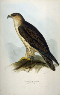 "Aigle de Bonelli.  (fichier Commons : ""Hieraaetus_fasciatus_by_John_Gould.jpg"") (domaine public) Gould John, The Birds of Europe, 1832-1837"