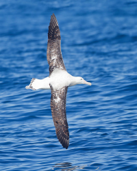 "Albatros hurleur en vol en Tasmanie. (fichier Commons : ""Diomedea_exulans_in_flight_2_-_SE_Tasmania"") - licence CC-BY-SA 3.0 (https://creativecommons.org/licenses/by-sa/3.0/) Harrison J.J., 2012"