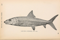 "Banane, baramme, archet (<em>Albula vulpes</em>). In ""American game fishes."" (fichier Wikimedia Commons : ""American_game_fishes... ((c1892))_(17526970103)"") (domaine public) Perry W. A et Shields G. O. (1846-1925), 1892"